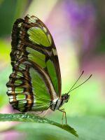 Pretty Butterf...