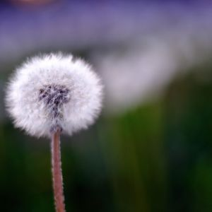 Spring Dandelion Wallpapers For The Iphone