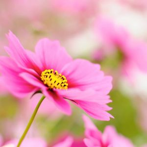 Random Wallpapers Pink Cosmos Galaxy S  S High Definition Wallpapers