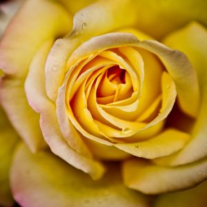Galaxy S  Wallpaper Yellow Rose