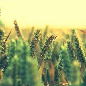 Green Ripe Wheat Wallpaper