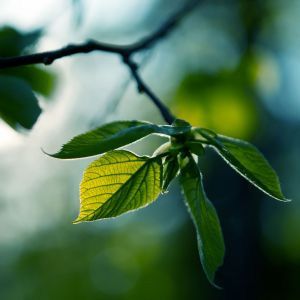Fresh Green Leaves Summer Wallpaper