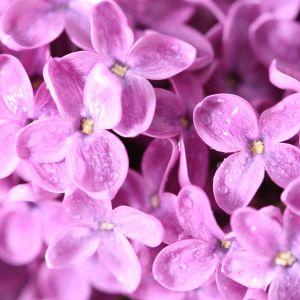 Lilac Flowers Macro Wallpaper