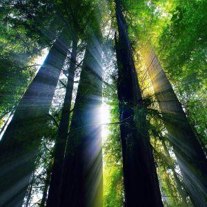 California Forest Wallpaper
