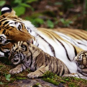 Tiger With Cubs Galaxy S  Wallpapers