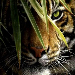 Galaxy S  Wallpaper Tiger