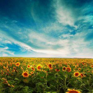 Sunflowers GTBhYPeE