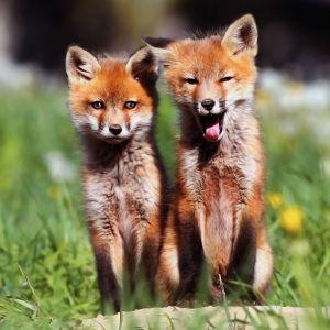 Fox Cubs Animal Mobile Wallpaper     X