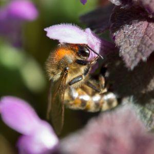 Bee Animal Mobile Wallpaper     X