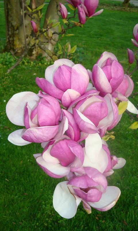 Magniolia Rose
