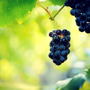 Black Grape Wallpaper
