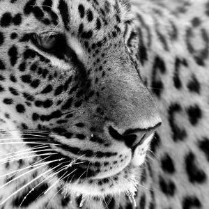 Jaguar White And Black Wallpaper Free