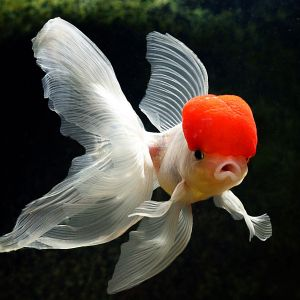 Beautiful Goldfish Pictures HD Wallpapers In HD