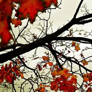 Spring Red Leaves Wallpaper