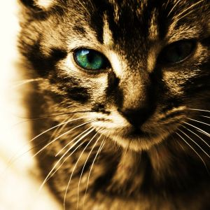 Green Eyes Kitten Wallpaper