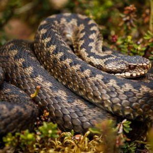 Rattlesnake Wallpaper