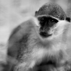Monkey Black And White Wallpaper