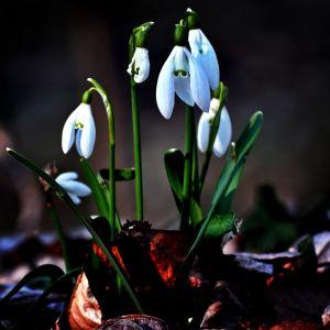 White Snowdrop Flower Wallpaper