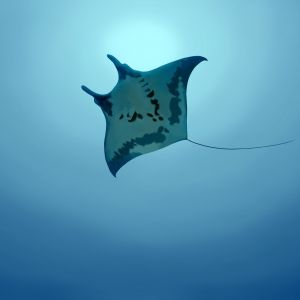 Manta Ray Wallpaper