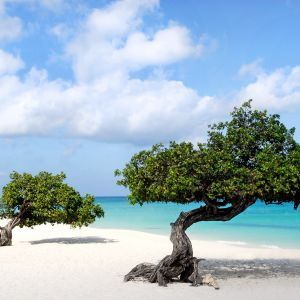 Beautiful Wallpaper Of Divi Trees In Aruba Island     X