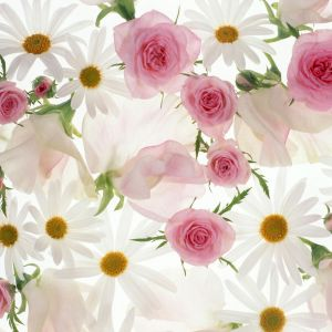 Chinese Rose And Daisy HD Samsung Galaxy Wallpaper