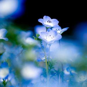 Blue Little Flower HD Samsung S  Wallpaper
