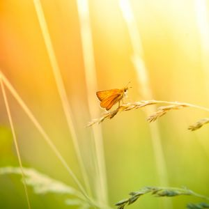 Sony Xperia Z  Wallpapers Butterfly And Wildflower Hd    P