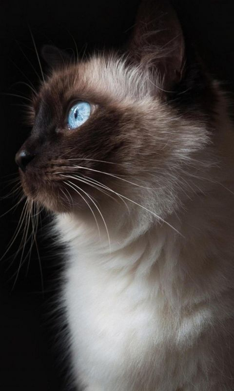 Z Wallpaper Full Hd      X      Smartphone Beautiful Cat