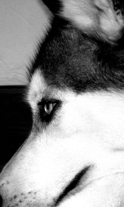 Yawning Wolf Animal IPhone Beautiful Wallpaper