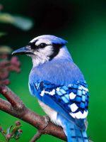 Beautiful Blue Bird Samsung Galaxy S  Wallpaper