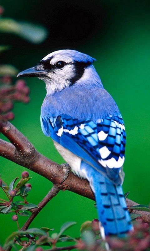 Beautiful Blue Bird Samsung Galaxy S  Wallpaper