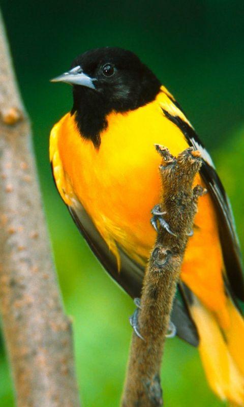 Bird Black Branch Beautiful           X