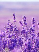 Lavender     X