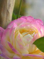Beautiful Pink Rose Iphone   Wallpaper Ilikewallpaper Com