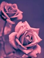 Beautiful Pink Rose Closeup Iphone   Wallpaper Ilikewallpaper Com