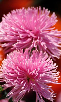 Beautiful Chrysanthemum Flowers Wallpapers Photos