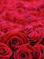 Roses Flowers Buds Red Many Beautiful           X