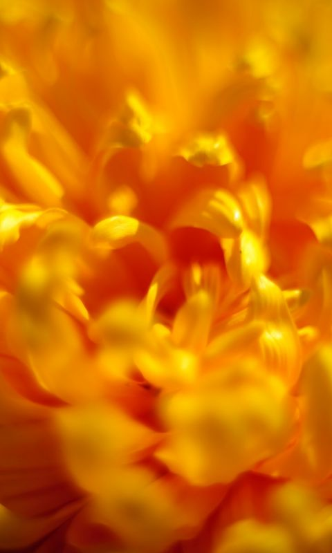 Beautiful Chrysanthemum Flowers Wallpapers Photos