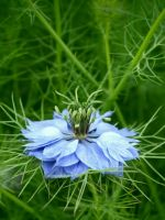 Blue Flower Beautiful Green Nature Top Wallpapers     X