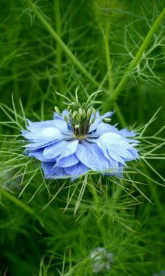 Blue Flower Beautiful Green Nature Top Wallpapers     X