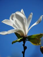 Beautiful Magnolia Flowers Wallpapers Photos