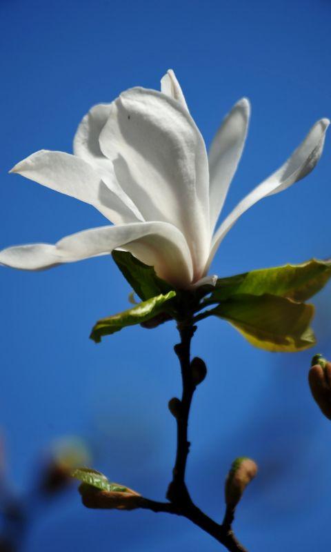 Beautiful Magnolia Flowers Wallpapers Photos