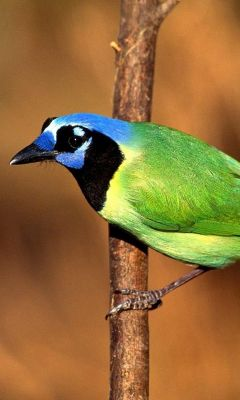 Beautiful Bird Samsung Galaxy S  Wallpaper