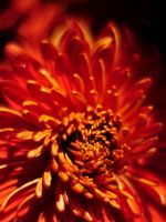 Beautiful Chrysanthemum Flowers Wallpapers Pictures