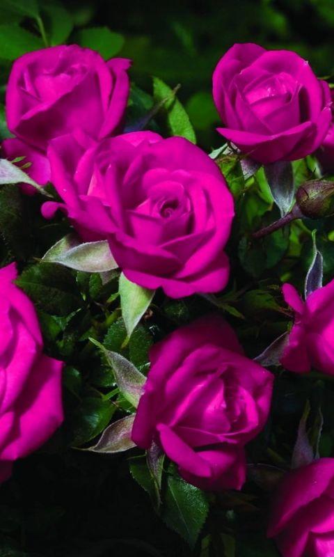 Roses Flowers Bouquet Beautiful Blur Green           X
