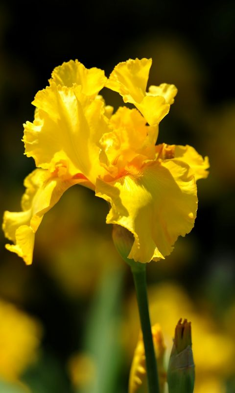 Beautiful Irises Flowers Wallpapers Pictures