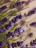 Beautiful Lavender Macro Meadow     X     IPhone   Plus Wallpaper