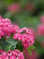 Flowering Tree Beautiful Blurred Hd Wallpapers     X