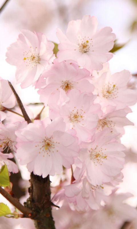 Ornamental Cherry Blossom White Flowers Beautiful Nature Top Hd Wallpapers     X