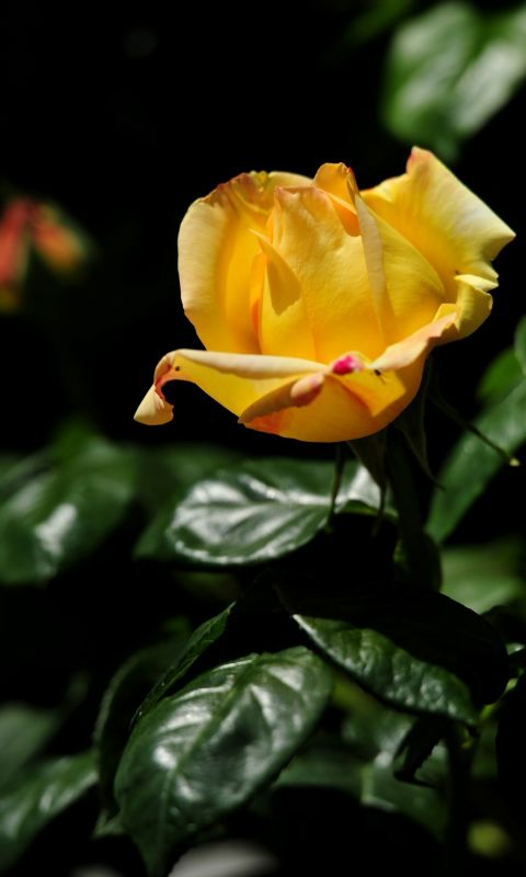 Beautiful Roses Flowers Wallpapers Pictures